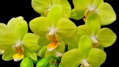 Очаровательные орхидеи