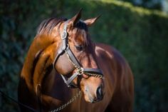 """San Diego Horse Race » Runhappy Comes Out of Malibu Win """"Great"""", To Get Some R&R"""