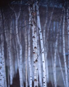 The grove of silver birches was at the very center of the wood.