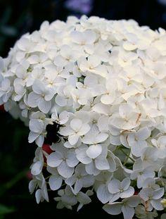 Hydrangea arborescens 'Annabelle' - Buy Online at Annie's Annuals