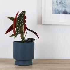 Begonia Maculata | 120mm All Plants, Potted Plants, Indoor Plants, Popular House Plants, Begonia Maculata, Pot Lights, Ceramic Plant Pots, Jungle Safari, Centre Pieces