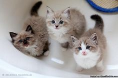 Mink Ragdoll Kittens Whiskers On Kittens, Siamese Kittens, Baby Kittens, Ragdoll Cats, Kittens Cutest, Cats And Kittens, Kitten Party, Animal Hugs, Mean Cat