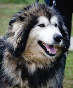 Alaskan Malamute #dog #animal #airedale #terrier