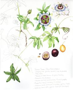 Passion Flower. This was fab to do, but really hard work. The tendrils are all over and kept getting caught in my hair, the fruit dried out, and I had to do the (mental) flowers form photo ref. But I'm more or less ok with the finished result. Think the fruit's the best bit.