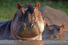 "The hippopotamus, or hippo, is a large, mostly herbivorous mammal in sub-Saharan Africa, and one of only two extant species in the family Hippopotamidae. The name comes from the ancient Greek for ""river horse"""