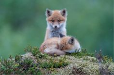 fox pup | Tumblr