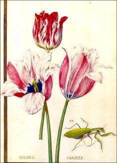 Daniel Rabel, French, (1578–1637). Official botanical illustrator and ballet set designer of the French court.