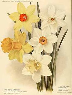 273130 Narcissus / The garden. An illustrated weekly journal of horticulture in all its branches [ed. William Robinson], vol. 75:  (1911)