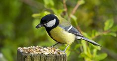 How well do you know your UK garden birds?