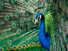 pauw peacock