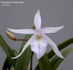 Brassokeria Mayan Spirit (Brassavola nodosa X Barkeria melanocaulum)