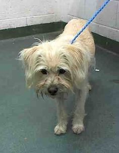 OLIVER (A1100134) I am a neutered male tan Terrier mix. The shelter staff think I am about 6 years old and I weigh 18 pounds. I was found as a stray and I may be available for adoption on 04/14/2015. Miami Dade https://www.facebook.com/urgentdogsofmiami/photos/pb.191859757515102.-2207520000.1428539094./959358934098510/?type=3&theater