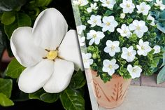 3 Gardenia 'Kleim's Hardy' Plants