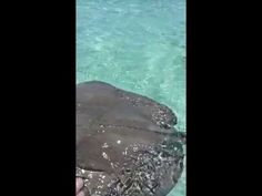 Touching the barbs on a Stingray at Gibbs Cay Beach in Grand Turk in Tur...
