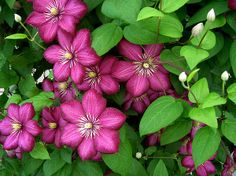 http://fineartamerica.com/featured/1-clematis-penny-lisowski.html