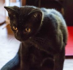 Shadow, a young cat with lots of smarts and energy.