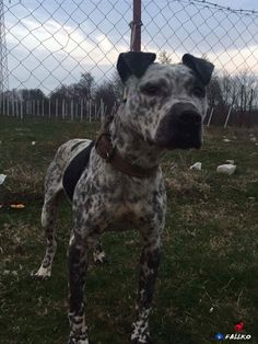 Black And White Dog, White Dogs, Pit Dog, American Pit, Hunting Dogs, Pitbull Terrier, Animals Beautiful, Best Dogs, Giraffe