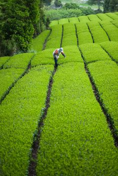 Green tea plantation, Jissou-ji temple, Fuji City, Shizuoka, Japan by Ippei & Janine Naoi Shizuoka, Beautiful World, Beautiful Places, Taj Mahal, Japon Tokyo, Felder, Maurice, Yokohama, Japanese Culture