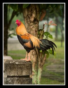 What a pretty rooster.
