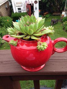 Fiestaware teapot with succulent