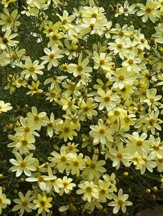Coreopsis moonbeam Pale yellow, One of the best. Flowers long and profusely  light yellow flowers, 18 tall. It is up in big garage garden, by delphinium.