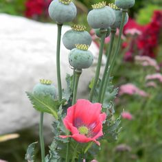 Poppies by Navigator Beautiful Flowers Images, Flower Images, Pink Plant, Christmas Cactus, Floral Photography, Seed Pods, Glass Flowers, Garden Plants, Color Inspiration