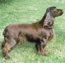 Field Spaniel Dog Breed