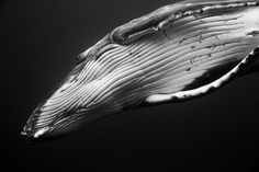 Over the last three years photographerJem Cresswellhas photographed humpback whales during their annual migration to Vava'u,Tonga, swimming with the great creatures in the vastwaters of the southern Pacific Ocean. Cresswell's series Giants captures the individual personality of the great whales,