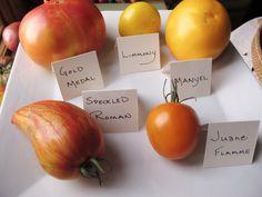 Earliest Yellow Heirloom Tomatoes at HeathGlen - 2012  www.tomatoheadquarters.com