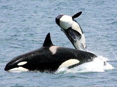 Une femelle orque-épaulard Orcinus orca avec son jeune