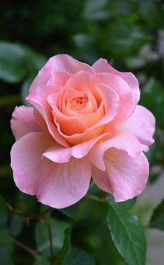 1736 best lovely pink roses images on pinterest in 2018 beautiful beautiful flowers unusual flowers pink flowers purple roses plants bloom mightylinksfo