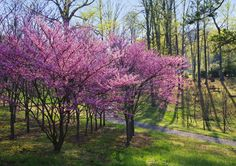 Picture of Eastern Redbud trees (Cercis canadensis) at The University of Tennessee Arboretum, Oak Ridge. stock photo, images and stock photography.