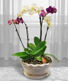 Live Plants Brilliant Gifts for Birthdays//Special Occasions Orchid Plants White Wild Orchid in White Ceramic Orchid Pot with Boxes of Chocolates