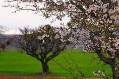 Almond Trees by LOccitane en Provence, via Flickr