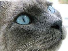 RUSSIAN BLUE!!