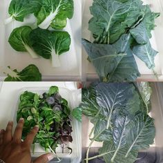 #DIY #aeroponics grow bin. First harvest report. 8/28/15 I used #generalorganics #biothrive 4-3-3 and CaMg #scienceofgrowing #indoorfarming #urbanfarming #testing #rootzone #hydroponics #nopesticides #ledgrowlights #basil #sweetbasil #bokchoy #kale #collard #opalbasil by floraofeden