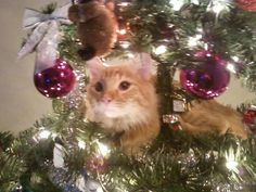 That is my cat Christmas tree climbing.