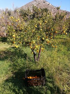 Harvesting organic tangerine in our farm in Eggares, in Naxos island. Their peel will be one of the ingredients of our unique herbal mixes of PHILOXENIA and UTOPIA Cooking Herbs, Greek Dishes, Organic Herbs, Medicinal Plants, Herbal Tea, Stay Safe, Fields, Harvest, Herbalism