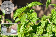 Easy garden tip: Planting basil from cuttings