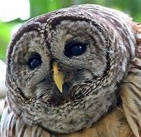 Image result for Exotic Owls