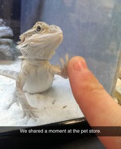 I love bearded dragons. I used to have one that did this.