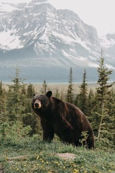 Beautiful iPhone X wallpaper, 1125 × 2436 Christmas Background (Part Beautiful Creatures, Animals Beautiful, Cute Animals, Wild Animals, Bear Wallpaper, Animal Wallpaper, Black Bear, Brown Bear, Oc Fanfiction
