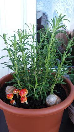 rozmarýn 2019 Plants, Planters, Plant, Planting