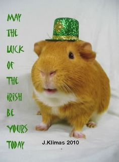 Saint Patrick's Day Guinea Pig (how on earth did they get that hat to stay on? Baby Guinea Pigs, Pet Pigs, Happy Animals, Cute Animals, Cool Pet Names, Pet Snake, Happy St Patricks Day, Saint Patricks, Animal Room
