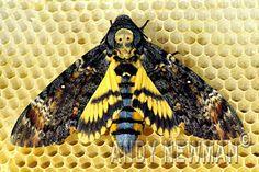 Deaths head hawk moth - moths are sexy