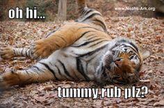 Doc - Oh hi...Tummy rub plz?    #Doc #Tiger #NoahsArk      www.noahs-ark.org