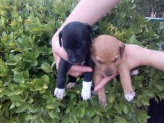 http://savealife.es/perros/mestizo/9912 | Atila y Aquiles son una camada indeseada, su mama bodeguera, necesitan mucho amor, ¿ se lo puedes dar? Atila adopción!!!