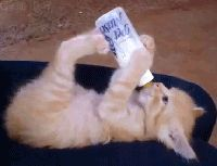 Kitten drink milk himself