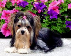 All About The Yorkshire Terrier Puppy Personality - Yorkie - Puppies Biewer Yorkshire, Toy Yorkshire Terrier, Yorkshire Terrier Haircut, Teacup Yorkie, Yorkie Puppy, Terrier Breeds, Terrier Dogs, Cute Puppies, Cute Dogs