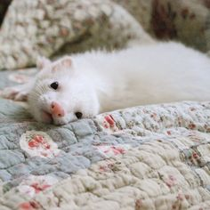 White ferret, pink nose!